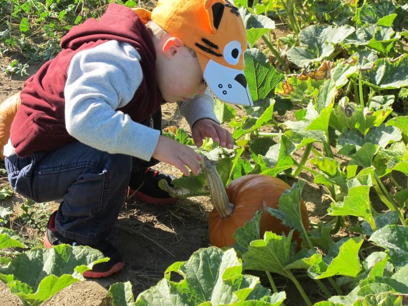 child looking for pumpkin in pumpkin patch